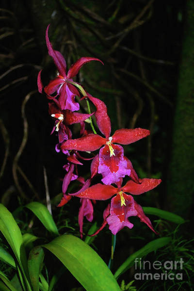 Photograph - Red And Purple Orchid Spray by Bette Phelan