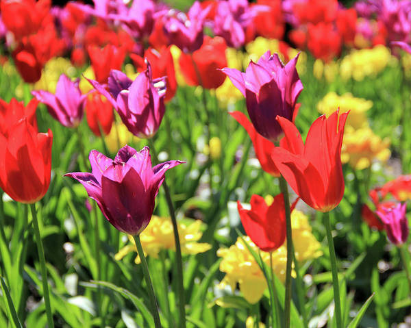 Photograph - Red And Purple Tulips by Angela Murdock