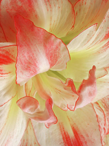 Photograph - Red And White Amaryllis Petals Abstract by Gill Billington