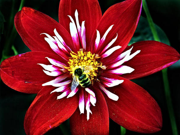 Red And White Flower With Bee Art Print