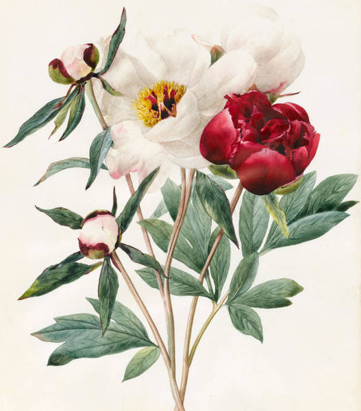 Elegant Drawing - Red And White Herbaceous Peonies by Louise D'Orleans