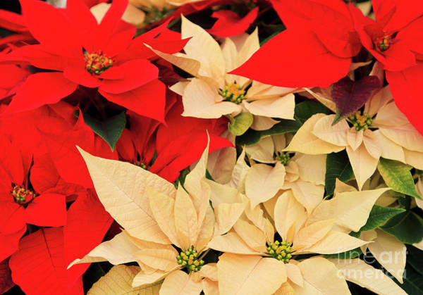 Photograph - Red And White Poinsettias For Christmas by Jill Lang