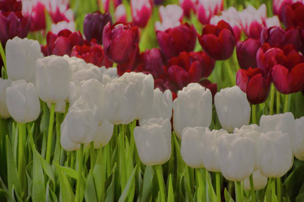Photograph - Red And White Tulips by Bill Cannon