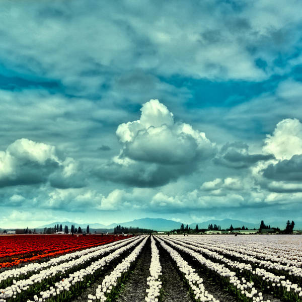 Photograph - Red And White Tulips by David Patterson