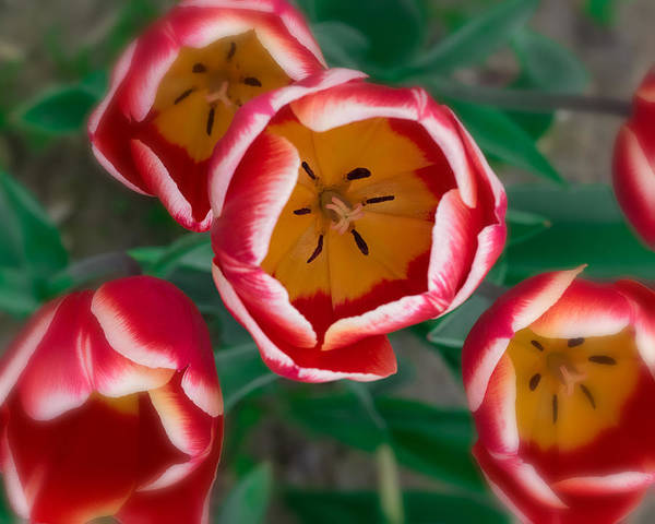 Photograph - Red And White Tulips by Thomas Hall