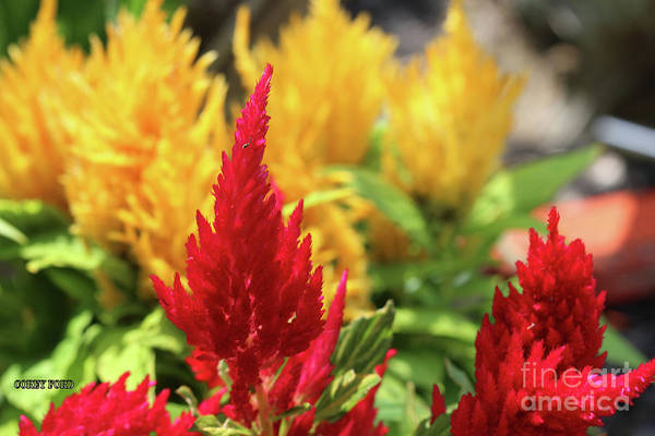 Pistil Painting - Red And Yellow Celosia Flowers by Corey Ford