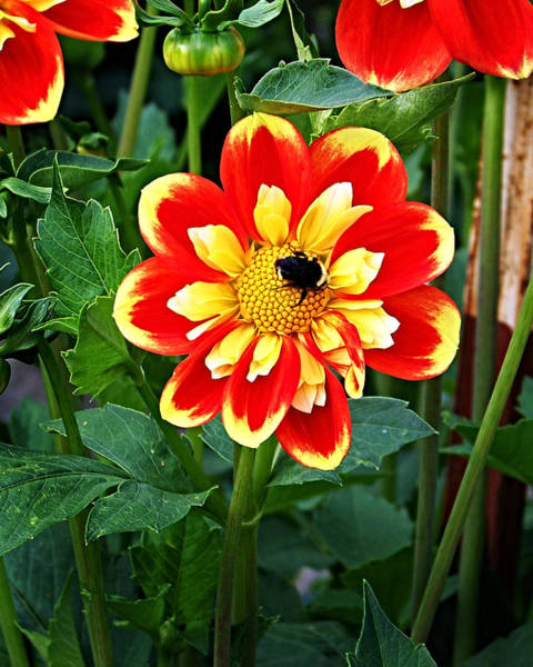 Photograph - Red And Yellow Flower With Bee by Anthony Jones