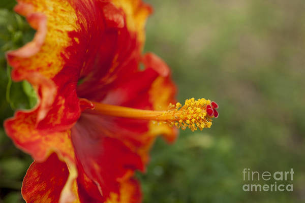Photograph - Red And Yellow Hibiscus by Charmian Vistaunet