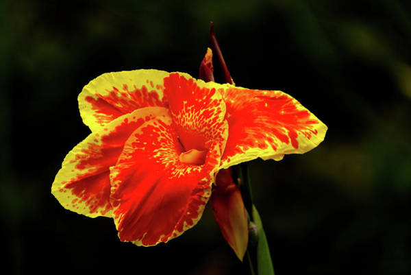 Photograph - Red And Yellow Single Flower by Vincent Billotto