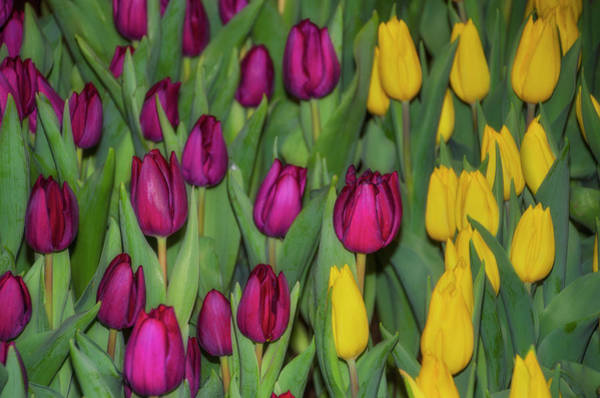 Photograph - Red And Yellow Tulips by Bill Cannon
