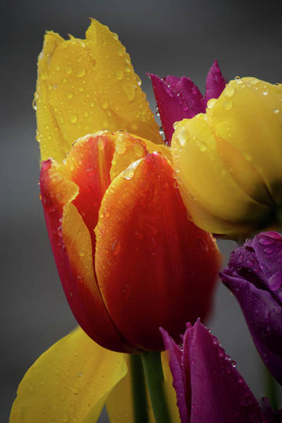 Photograph - Red And Yellow Tulips by Ken Dietz