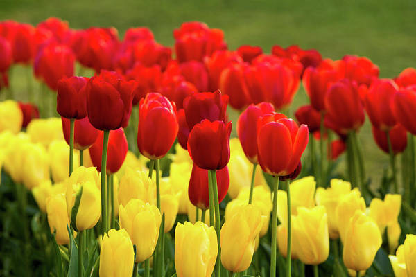 Photograph - Red And Yellow Tulips by Mary Jo Allen