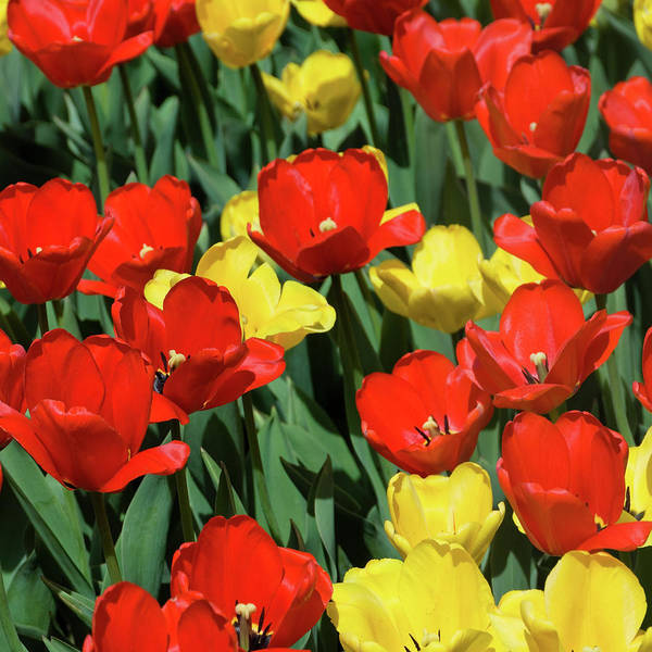 Photograph - Red And Yellow Tulips Section 04 Of 10 by Michael Bessler
