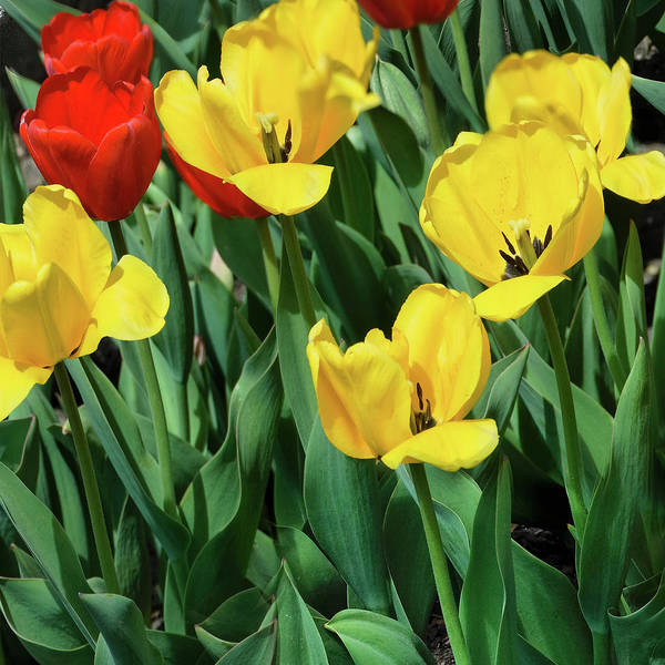 Photograph - Red And Yellow Tulips Section 06 Of 10 by Michael Bessler
