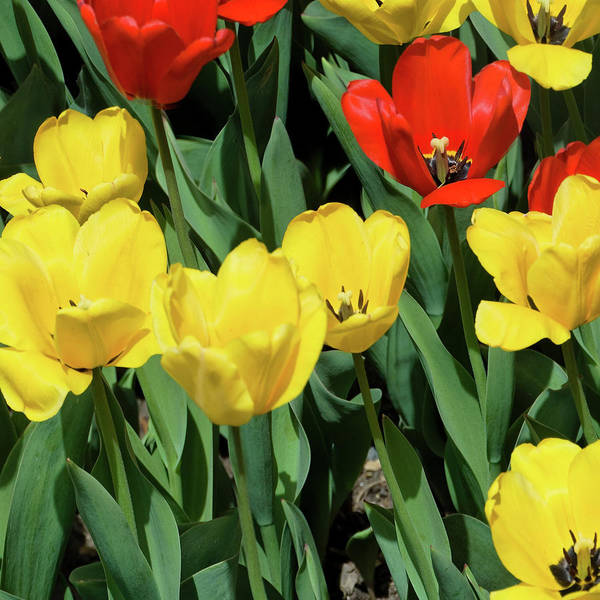 Photograph - Red And Yellow Tulips Section 09 Of 10 by Michael Bessler