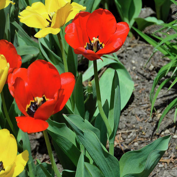 Photograph - Red And Yellow Tulips Section 10 Of 10 by Michael Bessler