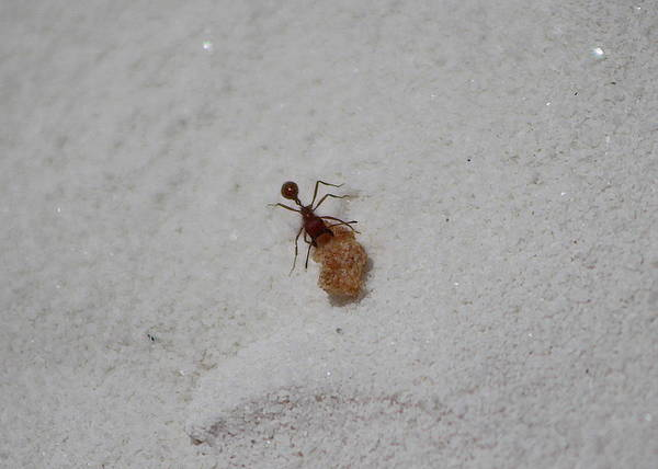 Photograph - Red Ant With Cornflake by Colleen Cornelius