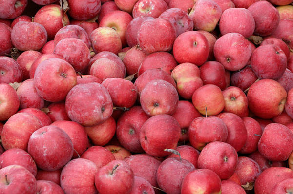Photograph - Red Apples by Alexander Fedin