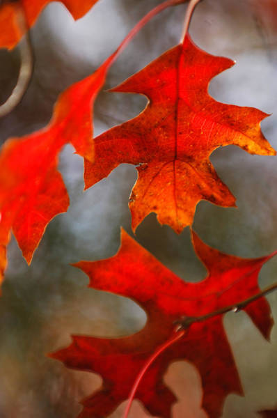 Photograph - Red Autumn Leaves by Jill Reger