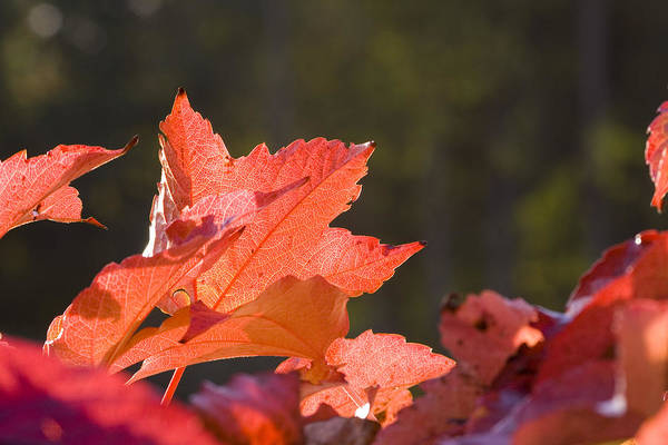 Photograph - Red Autumn by Marc Huebner
