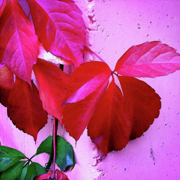 Red Wall Art - Photograph - Red Autumnal Leaves And Purple Wall by Matthias Hauser