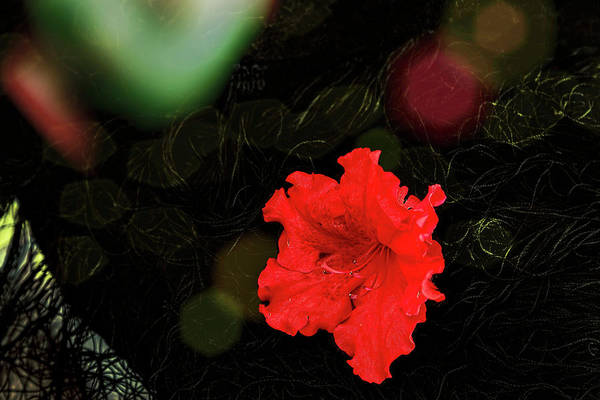 Photograph - Red Azalea by Kay Brewer