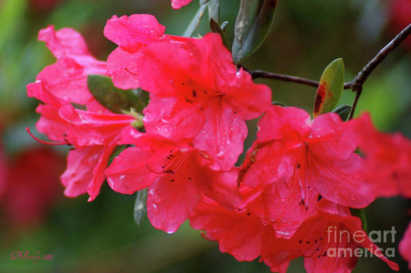 Photograph - Red Azaleas by Donna Bentley