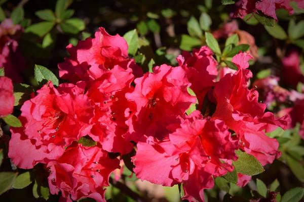 Photograph - Red Azeleas by Frank Wilson