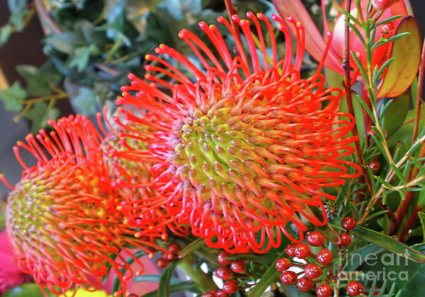 Proteaceae Photograph - Red Banksia Garden By Kaye Menner by Kaye Menner