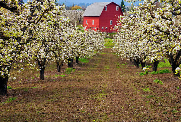 Orchard Photograph - Red Barn Avenue by Mike  Dawson