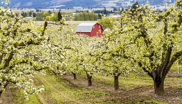 Photograph - Red Barn In Pear Orchards by Teri Virbickis