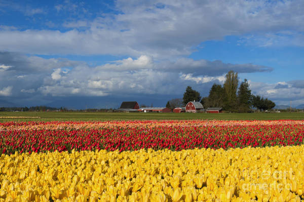 Wall Art - Photograph - Red Barn Tulip Farm by Mike Dawson