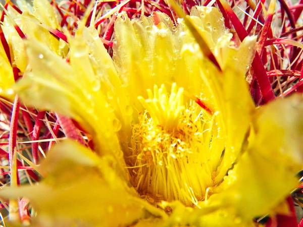 Photograph - Red Barrel Cactus Bloom 3 by Judy Kennedy