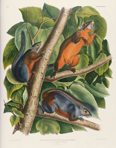 Red Squirrel Wall Art - Painting - Red Bellied Squirrel  by John James Audubon