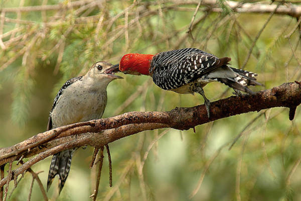 Red Bellied Woodpecker Photograph - Red Bellied Woodpecker Feeding Young by Alan Lenk