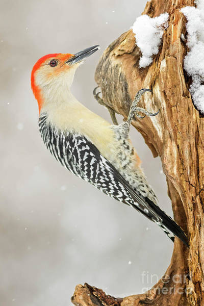 Wall Art - Photograph - Red Bellied Woodpeck Winter by Todd Bielby