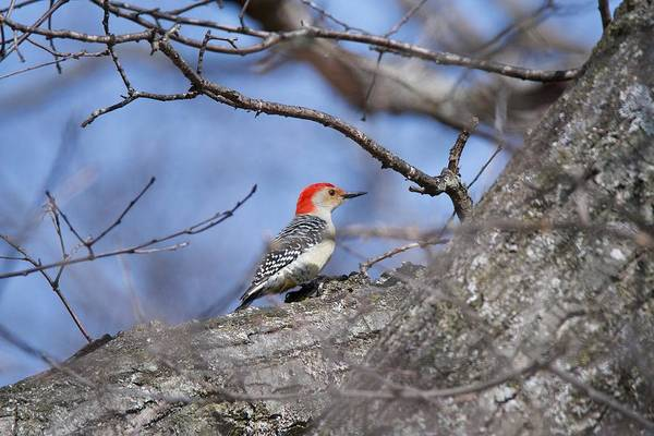 Red Bellied Woodpecker Photograph - Red-bellied Woodpecker 1134 by Michael Peychich