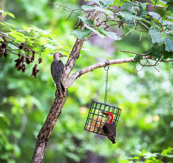 Photograph - Red-bellied Woodpecker 2016 14 by Jim Dollar