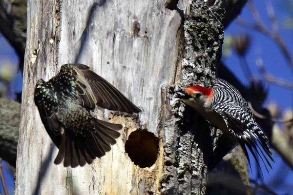 Photograph - Red Bellied Woodpecker Attacked By A Starling by William Bitman