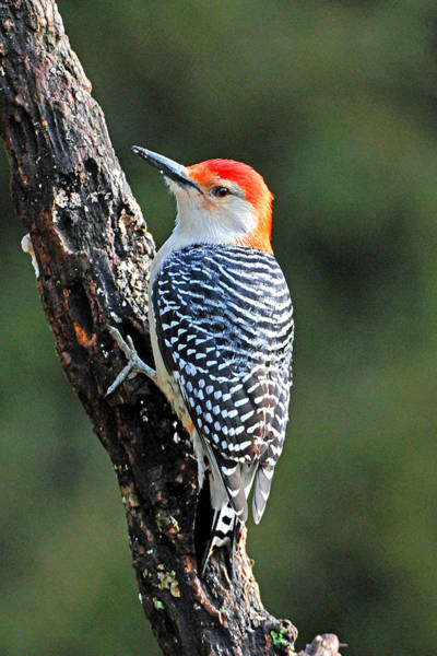 Wall Art - Photograph - Red Bellied Woodpecker Back View by Alan Lenk