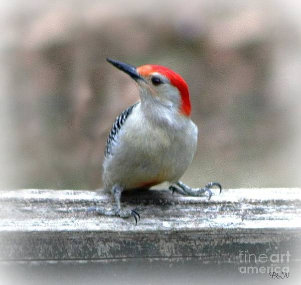 Photograph - Red-bellied Woodpecker by Barbara S Nickerson