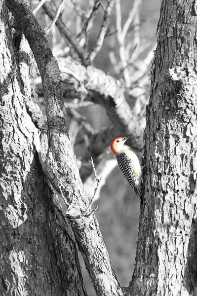 Red Bellied Woodpecker Photograph - Red-bellied Woodpecker by Benanne Stiens