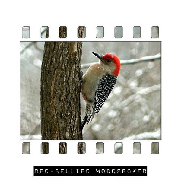 Photograph - Red-bellied Woodpecker by Denise Beverly