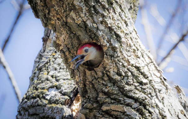 Photograph - Red Bellied Woodpecker Doing A Bit Of House Work by Ricky L Jones