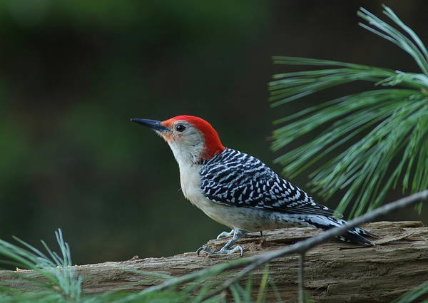 Photograph - Red-bellied Woodpecker In The Pines by Daniel Reed