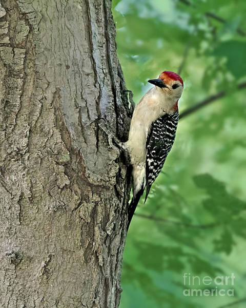 Photograph - Red-bellied Woodpecker by Jemmy Archer