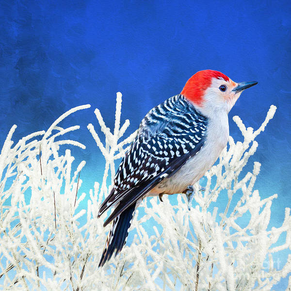 Checker Photograph - Red-bellied Woodpecker by Laura D Young