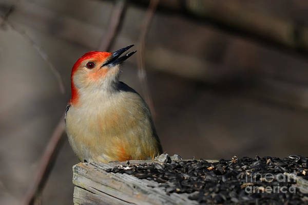 Photograph - Red-bellied Woodpecker by Lois Bryan