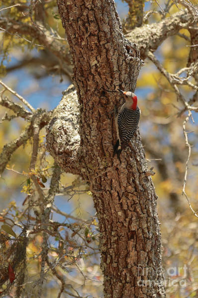 Red Bellied Woodpecker Photograph - Red-bellied Woodpecker In Sunshine by Carol Groenen