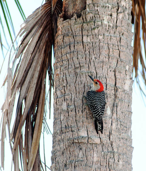 Ampa Wall Art - Photograph - Red-bellied Woodpecker by Norman Johnson